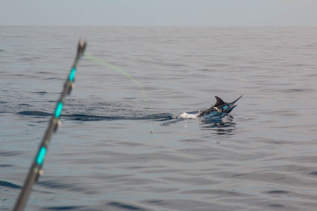 ALLURE II, BACK IN THE WATER, CATCHING FISH       - Sailfish
